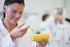 Scientific researcher injecting corn cob at lab Royalty Free Stock Photo