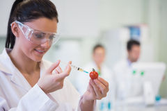 Scientific researcher injecting tomato at lab Royalty Free Stock Image