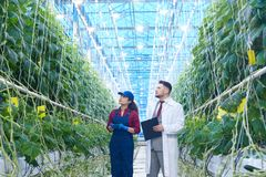 Scientifique Examining Vegetables dans la plantation Image libre de droits