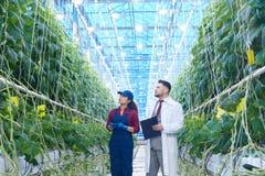 Scientifique Examining Vegetables dans la plantation Image libre de droits