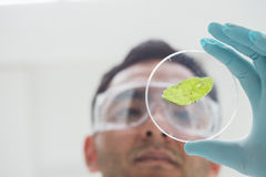 Scientist analyzing a leaf at the laboratory Stock Photo
