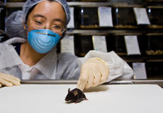 Scientist with black mouse. A female oriental scientist wearing latex gloves and a blue mask with a cute black C57BL/6 laboratory mouse in her hands stock photography