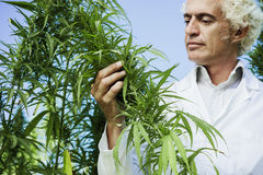 Scientist checking hemp plants. In the field, alternative herbal medicine concept Royalty Free Stock Photo