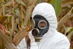 Scientist in the corn field Stock Photo