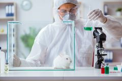 The scientist doing animal experiment in lab with rabbit Royalty Free Stock Images