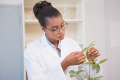 Scientist examining plant Royalty Free Stock Photo