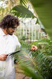 Scientist examining plants while holding tablet computer. Male scientist examining plants while holding tablet computer at greenhouse Royalty Free Stock Images