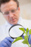 Scientist examining plants with magnifying glass Royalty Free Stock Photo