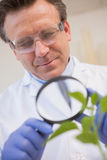 Scientist examining plants with magnifying glass Royalty Free Stock Photos