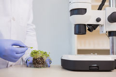 Scientist examining plants in petri dish Stock Photo