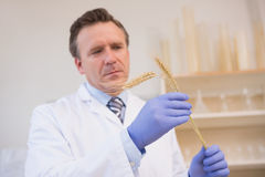 Scientist examining sheaf Stock Image