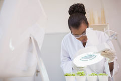 Scientist examining sprouts under heat lamp Royalty Free Stock Images