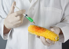 Scientist in genetic laboratory holding corn on the cob Stock Photos