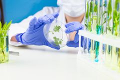 Scientist hold petri dish with plant in laboratory. Close up laboratory works royalty free stock images