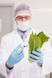 Scientist holding lettuce and injecting fluid with syringe Royalty Free Stock Photos