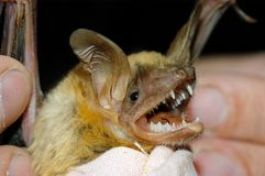Close up of a bat Stock Photo
