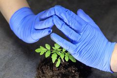 A scientist holds a sprout in his hands. this is tomato The concept of protecting plants from extinction royalty free stock image