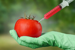 Scientist holds tomato with syringe Royalty Free Stock Photography