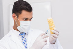 Scientist injecting a corn cob Stock Images