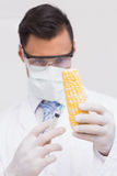 Scientist injecting a corn cob Stock Image