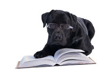 Scientist Labrador. Young Labrador reading books, while the hosts at work Stock Photos