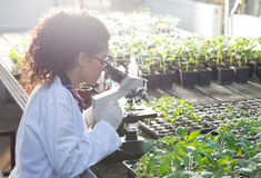 Scientist looking at microscope in greenhouse. Young biologist looking at microscope with seedlings around her in greenhouse. Microbiology, biotechnology and stock images