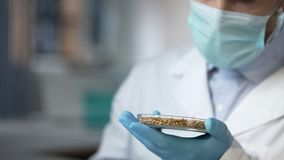 Scientist looking at wheat grains in laboratory dish, analyzing harvest quality stock image