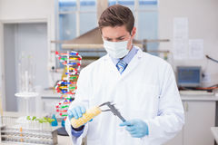 Scientist measuring corn with gloves and protective mask Royalty Free Stock Image