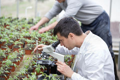 Scientist with microscope in green house. Biologist in white coat sitting beside microscope in green house and researching sprouts growth. Plant protection royalty free stock photos