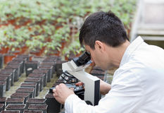 Scientist with microscope in green house Royalty Free Stock Photography