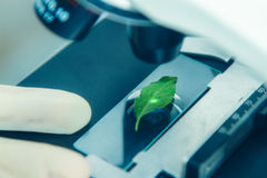 Scientist observed green leaf in laboratory glass,observation of Royalty Free Stock Photography