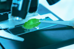 Scientist observed green leaf in laboratory glass,observation of Stock Images