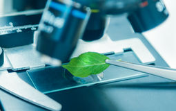 Scientist observed green leaf in laboratory glass,observation of Royalty Free Stock Photo