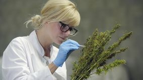 Scientist observing seeds of dry CBD hemp flowers with tweezers in factory