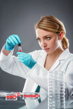 Scientist performs cell culture experiment Royalty Free Stock Images