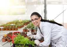 Scientist with sprouts in greenhouse Stock Image
