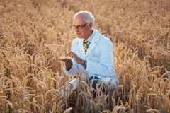 Scientist test new breed of GMO grain royalty free stock image