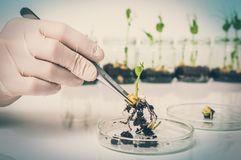Scientist testing GMO plant in biological laboratory royalty free stock photos