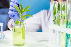 Scientist with tweezers keeps the plant in a test tube. Close up royalty free stock photography