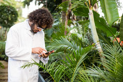 Scientist using digital tablet while examining plants. Male scientist using digital tablet while examining plants at greenhouse Stock Photo