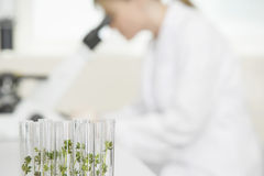 Scientist Using Microscope With Focus On Plants In Test Tubes. Side view of a blurred scientist using microscope in laboratory with focus on plants in test tubes Royalty Free Stock Images