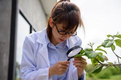 Scientist woman check leaf with magnifying glass. Young beautiful Asian agronomist scientist woman in white coat checking leaf with magnifying glass corn in Stock Photo