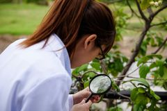 Scientist woman inspect leaf by magnifying glass. Young smart Asian agronomist scientist woman in white coat checking green leaf by magnifying glass corn in Stock Photo