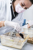 Scientist works with laboratory mouse Stock Image