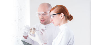 Scientists analyzing mushrooms. Close-up of a teacher and his curious student in a chemistry lab analyzing a bunch of mushrooms in front of a whiteboard royalty free stock photo