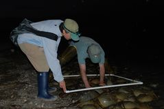 Scientists counting Horseshoe crabs at Night in water on Kitts Hummock a Delaware Bay Coastline Royalty Free Stock Photography