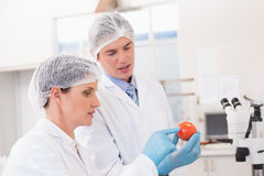 Scientists examining attentively tomato Stock Photos