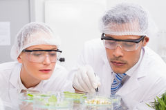 Scientists examining leafs in petri dish Stock Images