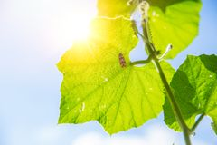 Scienza ed ecologia della natura Struttura verde della foglia del primo piano con clorofilla ed il processo di fotosintesi immagine stock