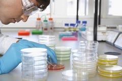 Scienziato Analyzing Petri Dish Fotografia Stock Libera da Diritti